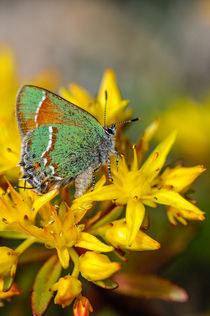 Siva Juniper Hairstreak Butterfly by Barbara Magnuson & Larry Kimball