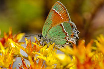 Inbf-0215-siva-juniper-hairstreak-butterfly-callophrys-gryneus-siva