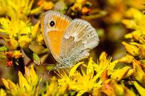 Common Ringlet Butterfly von Barbara Magnuson & Larry Kimball