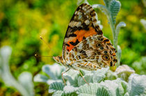 Painted Lady Butterfly by Barbara Magnuson & Larry Kimball