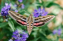 Sphinx Moth Visitors by Barbara Magnuson & Larry Kimball