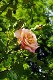 Kletterrosenblüte von lorenzo-fp