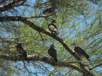 Doves in a Palo Verde Tree, Tucson, Arizona von Terry Kepner