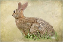 BROWN BUNNY by tomyork