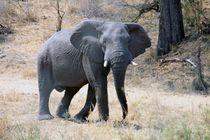 Lone Elephant by Diane Langenstrass