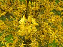 Forsythie in voller Blütenpracht von Eva-Maria Di Bella