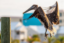 brown pelican by digidreamgrafix