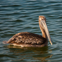 brown pelican swimming by digidreamgrafix