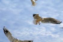 Usedom Seagulls von Jens Uhlenbusch