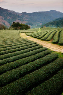 Mae Salong Tea Plantations by Tom Hanslien