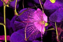Kapernblüte-Variation6 von lisa-glueck