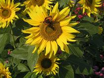 """Schmetterling """"Kleiner Fuchs"""" auf Sonnenblume - Butterfly on Sunflower von Eva-Maria Di Bella"""