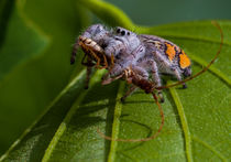 White jumping spider with insect von Craig Lapsley