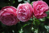 Pink Rosen by Elke Balzen