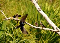 flying barn-swallow in front of their little ones - Fliegende Rauchschwalbe vor Jungschwalben von mateart