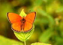 Butterfly-orange-2