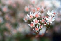 weiße Blüten von Jens Berger