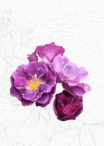 Violette Rosenblüten I von lorenzo-fp