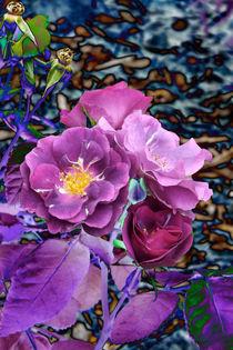Violette Rosenblüten II von lorenzo-fp