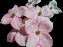 Dogwood von Mary Lane