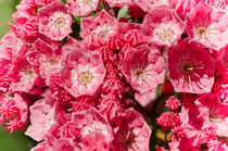 Mountain Laurel von Mary Lane