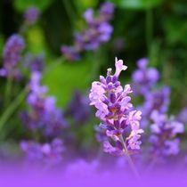 Lavendelimpression von Maria-Anna  Ziehr