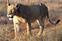 Lioness in the Wild von Pravine Chester
