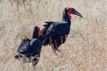Southerngroundhornbill4299