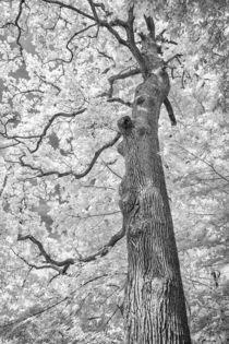 Infrarot-Eiche von Walter Layher