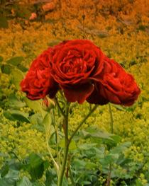 Drei Rosenblüten... von lorenzo-fp