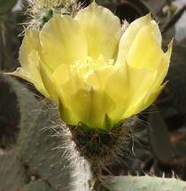 Sunlit Cactus Flower von Malcolm Snook