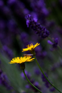 Gelb im Lavendel von STEFARO .