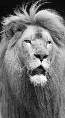 Der Blick des Löwen by buellom
