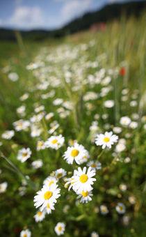 Bergwiese mit Gänseblümchen by buellom
