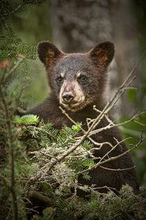 Anl-black-bear-cub-0302-rp