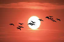 Geese flying against the Sun by Randall Nyhof
