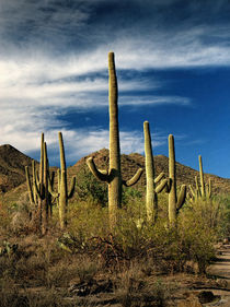 Cactus in Saguaro National Park von Randall Nyhof