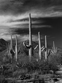 Black & White Photograph of Cactus in Saguaro National Park von Randall Nyhof