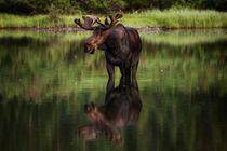 Reflecting-bull