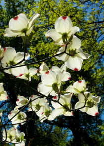 Dogwood Blossoms in Early Spring by Kathleen Bishop
