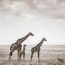 Giraffes, Masai Mara, Kenya von Regina Müller