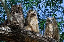 Great Horned Owl Family von Kathleen Bishop