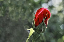 Rose - rosacea by ropo13