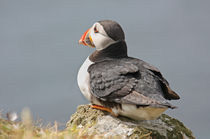 "[impressions of scotland] - puffin ""watching"" by meleah"