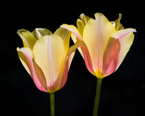 Twin Sister Tulips von agrofilms