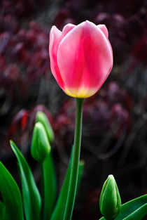 Tulip And Buds by agrofilms