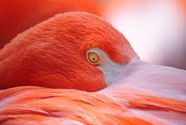 Tucked-in-flamingo-org