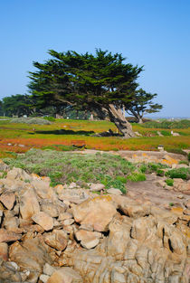 A-cypress-on-ocean-view-org