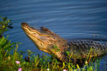 Alligator Grunt  by agrofilms