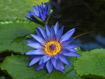 Blaue-seerose1227pe
